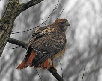Red-tailed Hawk Showing How It Gets Its Name 8x10 Picture Photo Print