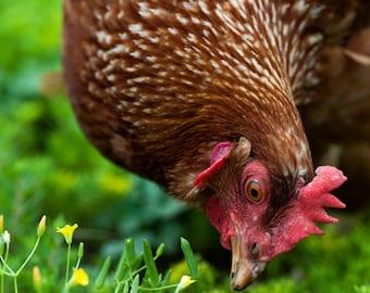 Chicken Photograph  - fine art photography, garden art, farm animal, bird, green, yellow wall art, brown, red, gallery wrapped canvas