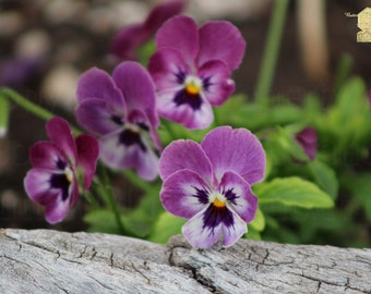 Close Up Photography, Duo Tone Purple Pansies against Rustic Wood, Brighten Your Home by Bring Some of the Outside Inside, Zen Home Decor