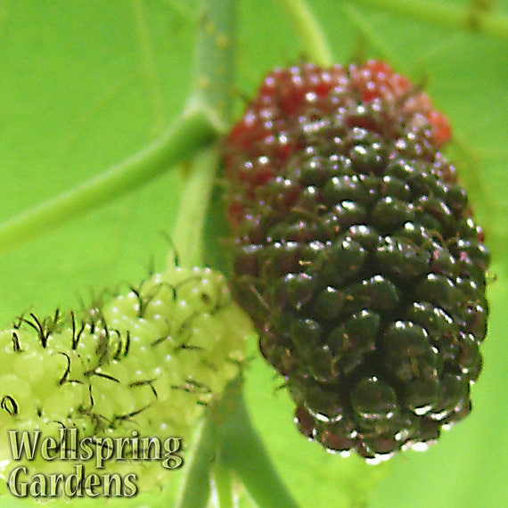 Dwarf everbearing black mulberry tree morus nigra live plant sciox Image collections
