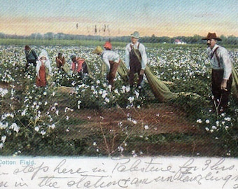 VINTAGE  POSTCARD, A Texas Cotton Field, collected by junqueTrunque