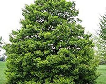 100 American Holly Tree Seeds, Ilex Opaca