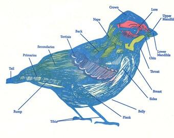 Letterpress Hand-colored Bird Anatomy Diagram Print
