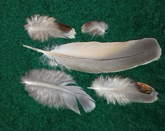 Common bronzewing (Phaps chalcoptera), naturally molted feathers. Cruelty free