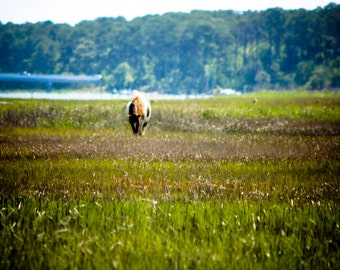 Photograph Lone Wild Pony Brown Horse in Green Assateague Island Fields on the East Coast Equestrian Solitude Travel Art Print Home Decor