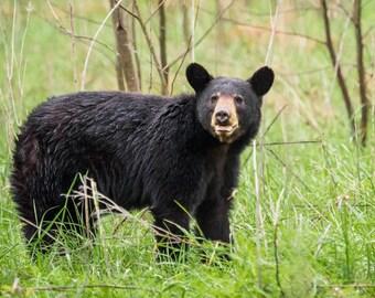 Black Bear, photograph, portrait, fine art print, 5x7, 8x10, giclee, nature image, matted, signed