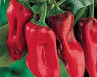 Sweet Pepper- Marconi Red- 25 seeds