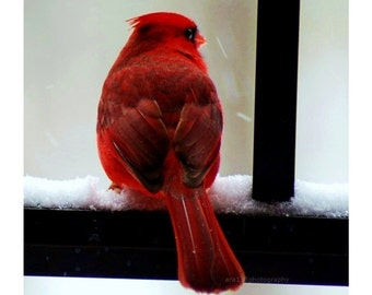 Red Wall Decor, Bird, Nature Picture, Cardinal Photograph, Winter, Holiday- 5x5 inch Print - Cardinal in the Snow