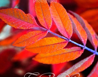 Autumn Leaves,Fall Colors,Landscapes,Giclee print,Nature Prints,Red,Scarlet,Orange,Colorado Art,Photography,Nature Photography,Dew on Leaves