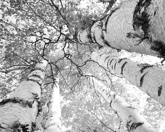 Birch tree art print door county photo black and white trees