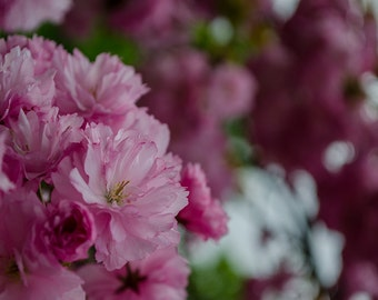 Nature photography, cherry blossom photography