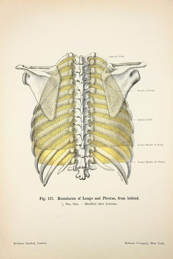 Lungs Pleurae Chest Thoracic Wall c.1900 DOUBLE SIDED