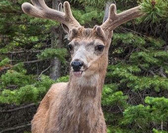 Handsome Buck, Beautiful Antlers, Stag, Whitetail Deer, Greeting Card or Photographic Print