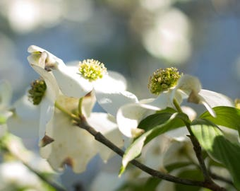 Floral Photography Art, White Dogwood Flower Print, Flower Wall Art, Nature Photograph, Blooming Dogwood, White Floral