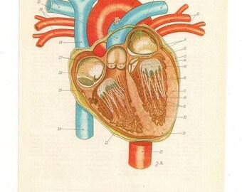 Anatomical heart print anatomy medical print human body wall art medical student gift anatomic heart human anatomically correct heart