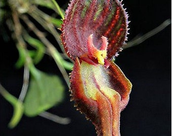 Rare Orchids Flower seeds, Qty 20