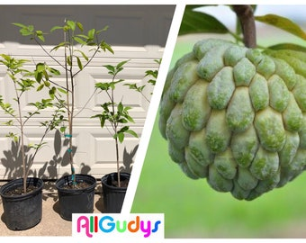 Sugar Apple /Sitaphal (Annona Squamosa) Tree Seedling 3 Gallon 39-49 Inches Tall