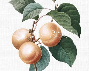 Fruit Clipart 'Apricot Peach' Plant Digital Download Botanical Illustration Art Image for Invitations, Crafts, Collages, Wall Art...