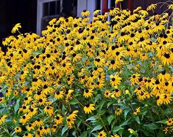 1 TSP wildflower Black Eyed Susan Rudbeckia hurta