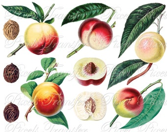 PEACHES collage Instant download Digital Downloads, fruits botanical illustration, peach clipart