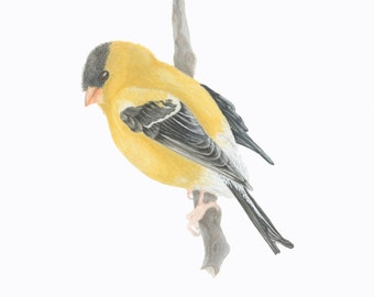 American Goldfinch/BIRD ILLUSTRATION/Archival Giclee Print/Ornithology Conservation/Gold-Yellow-Black-Gray