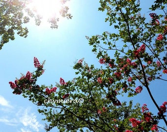 Crepe Myrtle.  Photography Giclée Print. Sky Photography. Tree Photography. Sunshine sunrays // horizontal print. Fuchsia Blossoms