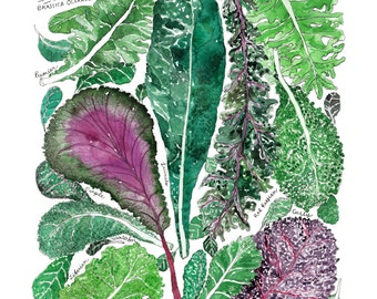 Different Types of Green and Purple Kale Watercolor Art Print / Garden Kitchen Illustration