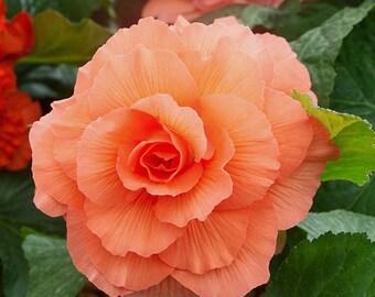 Begonia Rose Form Peach - 3 XL Bulbs
