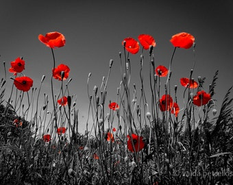 In the poppy field 12x16 inches fine art photograph Blood red poppy photo Poppy wall decor Scarlet red wall art Poppies photo Floral art