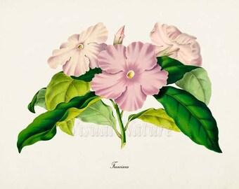Franciscea Flower Art Print, Botanical Art Print, Flower Wall Art, Flower Print, Floral Print, Home Decor, pink