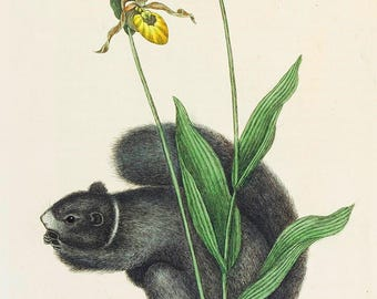 Mark Catesby: The Lady's Slipper Orchid with a Grey Squirrel. Fine Art Print/Poster. (004748)