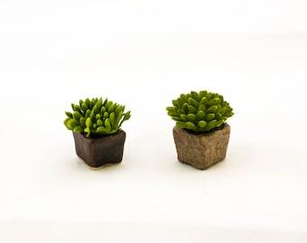 Small Succulent in Square Pot