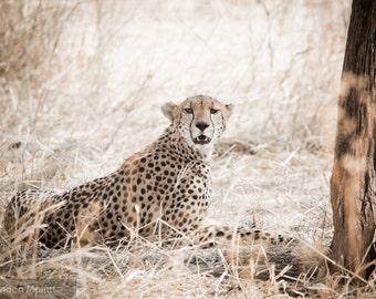 "Photo Print: ""I Wouldn't If I Were You"" - Female Cheetah, Serengeti National Park, Tanzania"