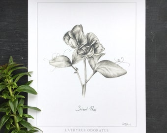 Sweet Pea Botanical print