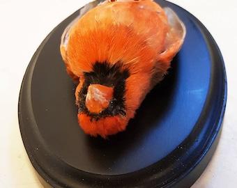 Taxidermy red cardinal bird taxidermie stuffed art deco death empaillé curiosité curiosity toucan präparat tierpräparat feathers