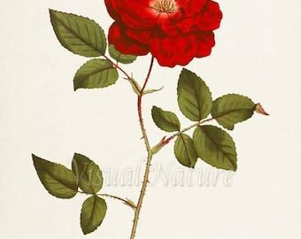 China Rose Flower Art Print, Botanical Art Print, Flower Wall Art, Flower Print, Floral Print, Red Rose Art Print