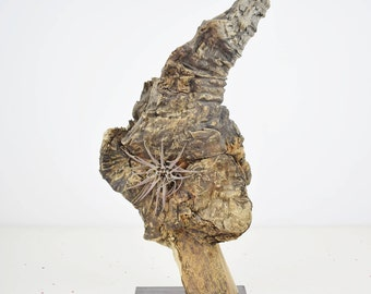 Paw. Root of olive tree sculpture. Support for air plants.