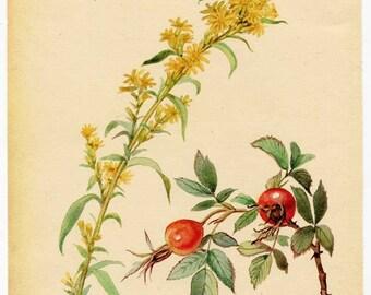 Vintage Nature Scene, Botanical,  Bookplate Illustration, Print for Framing, Golden Rod and Rose Hips, Floral Print, Nature Print