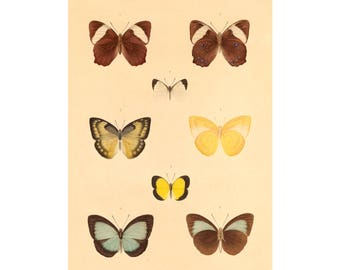 Antique butterflies art print, Butterfly wall art, Butterfly collection, Insect art, Antique nature art, Nature wall art, Natural history