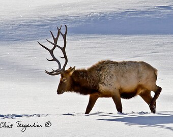 Bull elk in the snow in Yellowstone, currently most popular photograph, Original Fine Art Photography