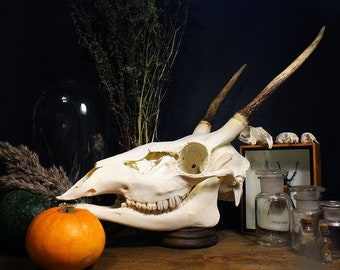 DEER SKULL Animal skull Real animal skull Animal antlers Taxidermy mount Ram skull