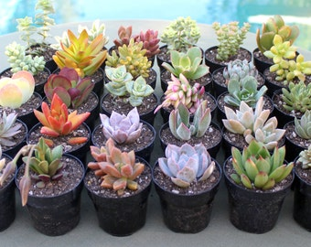 6 Colorful Succulents in 2-1/2 inch pots, Succulent, Succulents, Succulent Plants, Succulent Favors, Bulk Succulents, Hens and Chicks