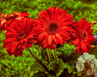 Floral Photography - Blooming In Red
