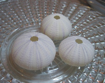 Beach Sea Urchins - White Sea Urchins - White with a hint of Lavender