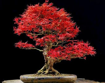 Acer palmatum Japanese Maple Small Leaf 20 + Viable Seeds