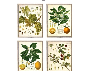 Set of Any FOUR Botanical Illustrations - giclee prints, choose your size, choose 4 designs - Botanicals, Vintage, Illustration, Art, Decor