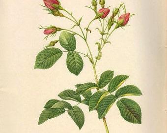 LARGE Vintage Botanical Print Antique REDOUTE ROSA Euratina, plant print botanical print, bookplate art print, plants wall