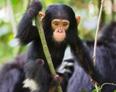 Baby Chimpanzee Photo Pri...