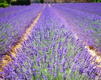 Lavender Photography Flower Nature Pictures Field Digital Image Printable Wall Art