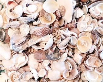 1 LB or 2 LB Bulk Craft Shells, Seashells, Florida / Beach Decor / Shells, Small Seashells, Sanibel Seashells, Mixed / Wholesale Supplies